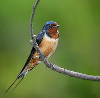 AmethJera's Broom With A View: Swallows: Birds of Magick