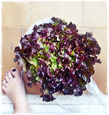 enormous red leafed lettuce