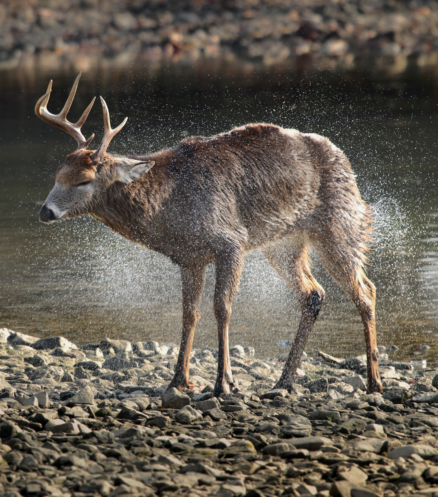 A deer getting rid of excess water from it's body.
