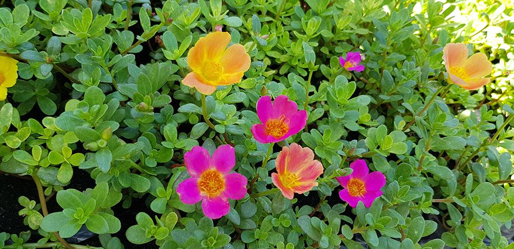 ดอกของต้นคุณสายตื่นสาย