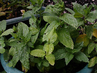 Mint growing in pots