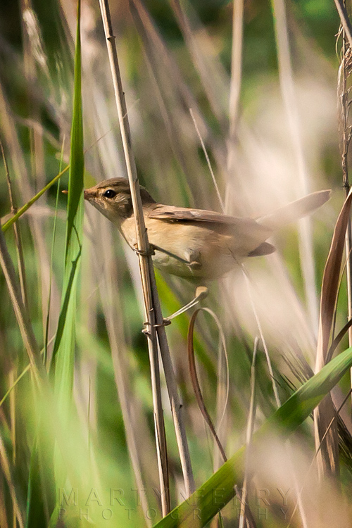 Looking through the reeds at a reed warbler bird at Ouse Fen Nature Reserve