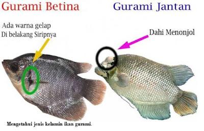 Jenis kelamin ikan gurami - pustakapengetahuan.com