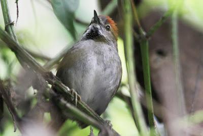 la familia Furnaridae en Argentina Pijuí ceja canela Synallaxis azarae