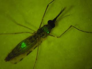 anopheles, Malaria, mr4, NEWS, paludisme, Plasmodium falciparum, institut pasteur, INSERN