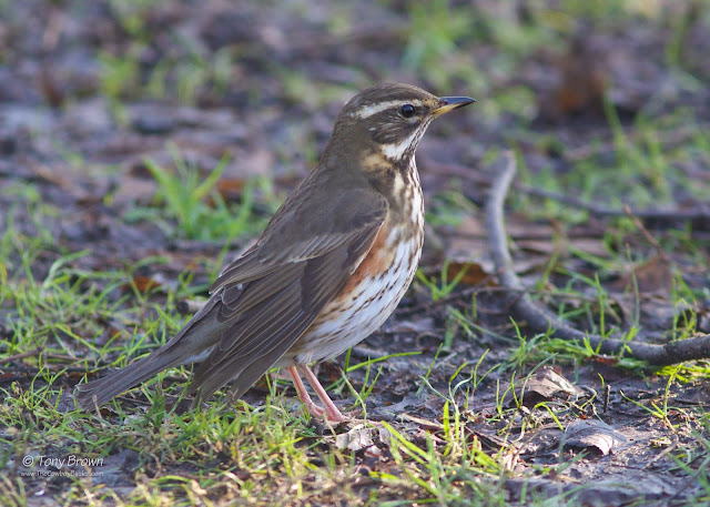Winter Thrush, London