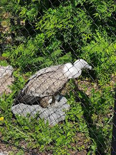 vautour-fauve-du-zoo-de-maubeuge