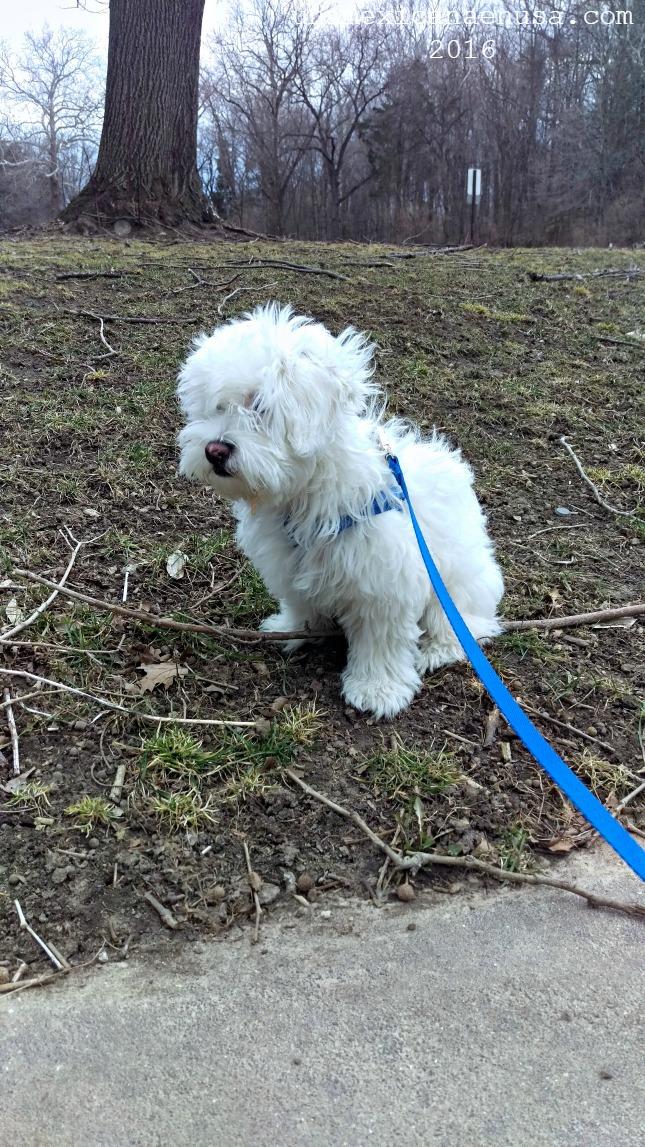 Bolillo, un perrito mezcla de maltés y French poodle.