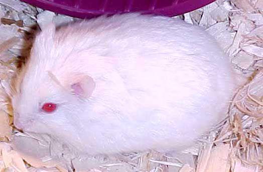 Hamster   A-Z List of 125 Rare Albino Animals [Pics]