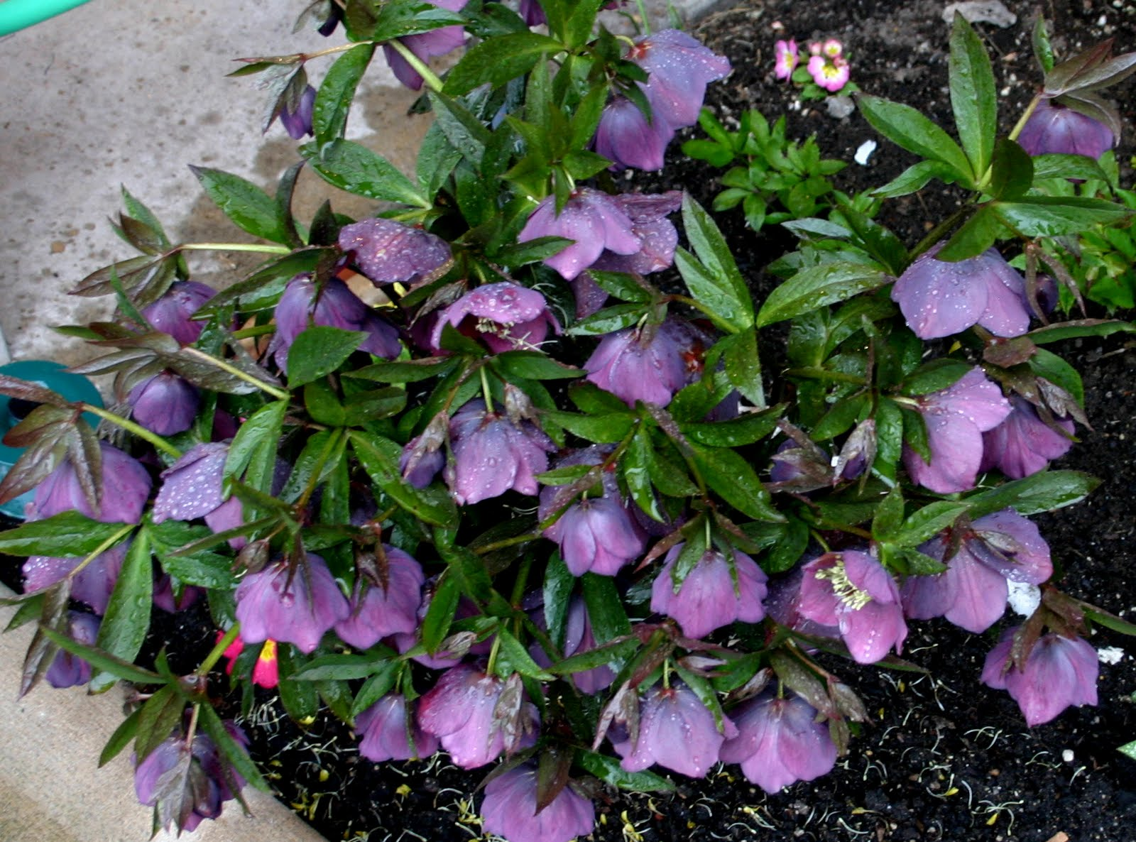Spring Blooming Perennials