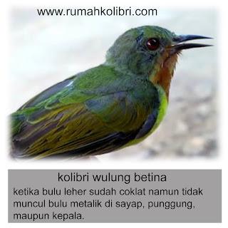 anakan kolibri wulung betina