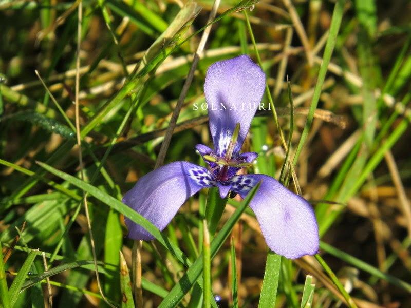 Herbertia lahue  (ex Trifurcia lahue) Tres puntas