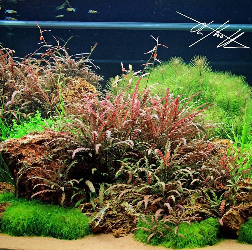 Rêu Weeping trong một bố cục hồ thủy sinh hoàn chỉnh - rất xanh và đẹp