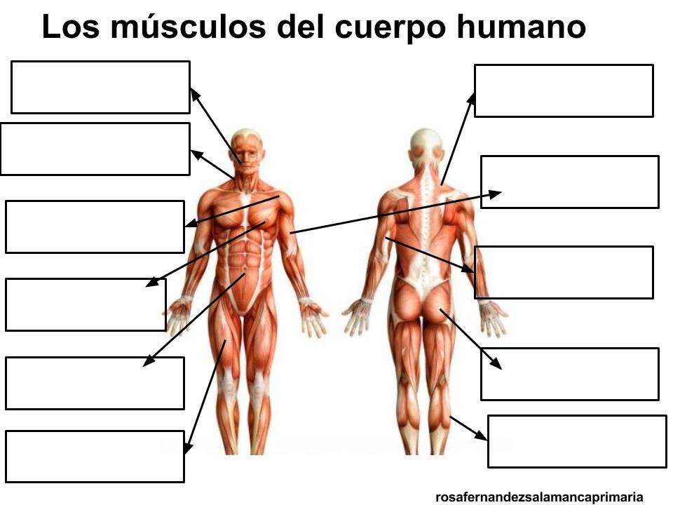 El dibujo de los músculos a los ejercicios - Como Fortalecer los ...