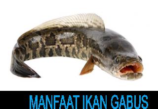 manfaat ikan gabus untuk penyembuh luka