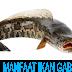 Manfaat Ikan Gabus Untuk Luka dan Cara Menglolahnya