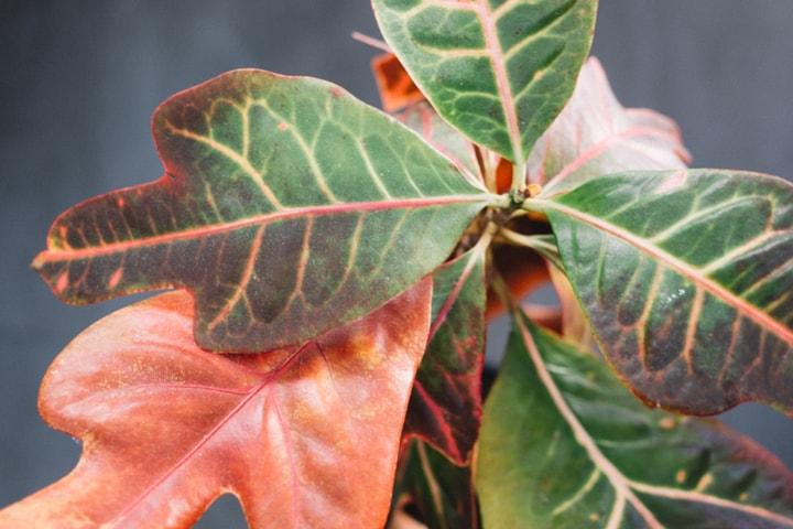 Codiaeum-variegatum-excellent-croton-blog-oliandmoli-7-plantas-navideñas