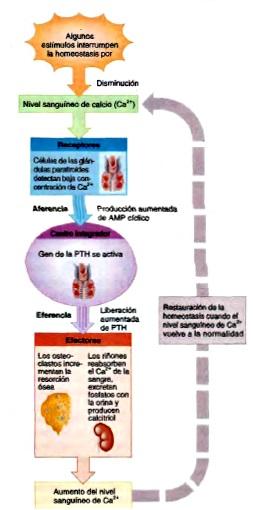 Tejido óseo homeostasis calcio