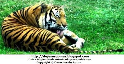 Foto de tigre lamiéndose el cuerpo en el Parque de las Leyendas. Foto del tigre de Jesus Gómez