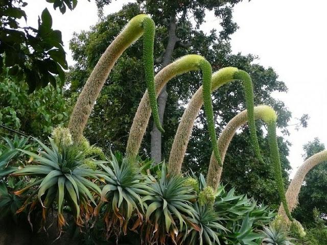 FLOR DO DIA - PESCOÇO-DE-CISNE  (Agave attenuata) Que tal ter uma flor com vários metros de altura em seu jardim?