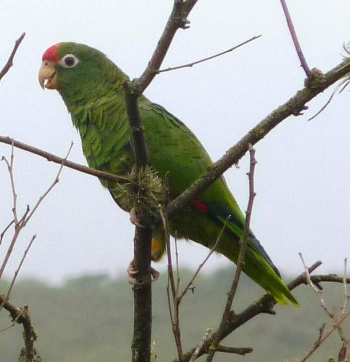 Alder Parrot