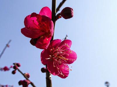 山田池公園 梅林の紅梅