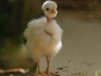 Panduan Ternak Ayam Poland Brjambul Unik