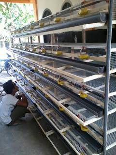 Gambar Kandang Buruh Puyuh Petelur Kapasitas 1000 Ekor