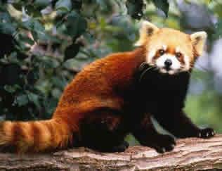 Todo sobre el oso panda menor rojo - Toda la información