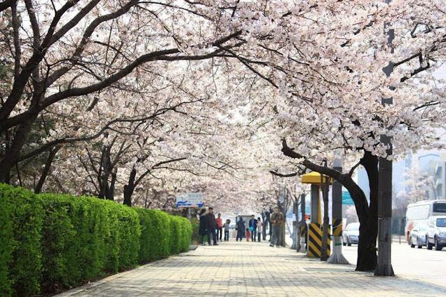 Lễ hội hoa anh đào ở Yeouido