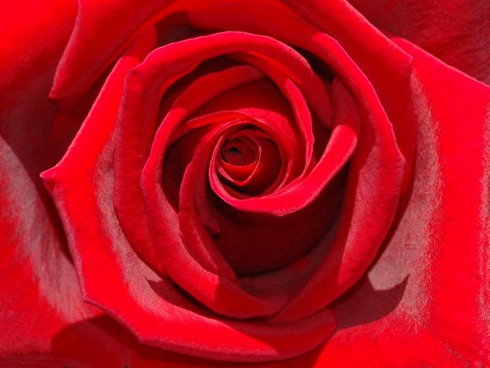what do red roses symbolise