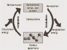 Tahapan katabolisme karbohidrat respirasi aerob dan anaerob tahapan katabolisme karbohidrat respirasi aerob dan anaerob ccuart Choice Image
