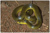 Cobras não-peçonhentas