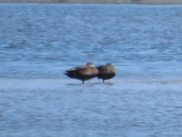 Black Duck - Jamaica Bay, New York