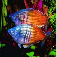 Ikan Hias Air Tawar Terindah  Boseman's