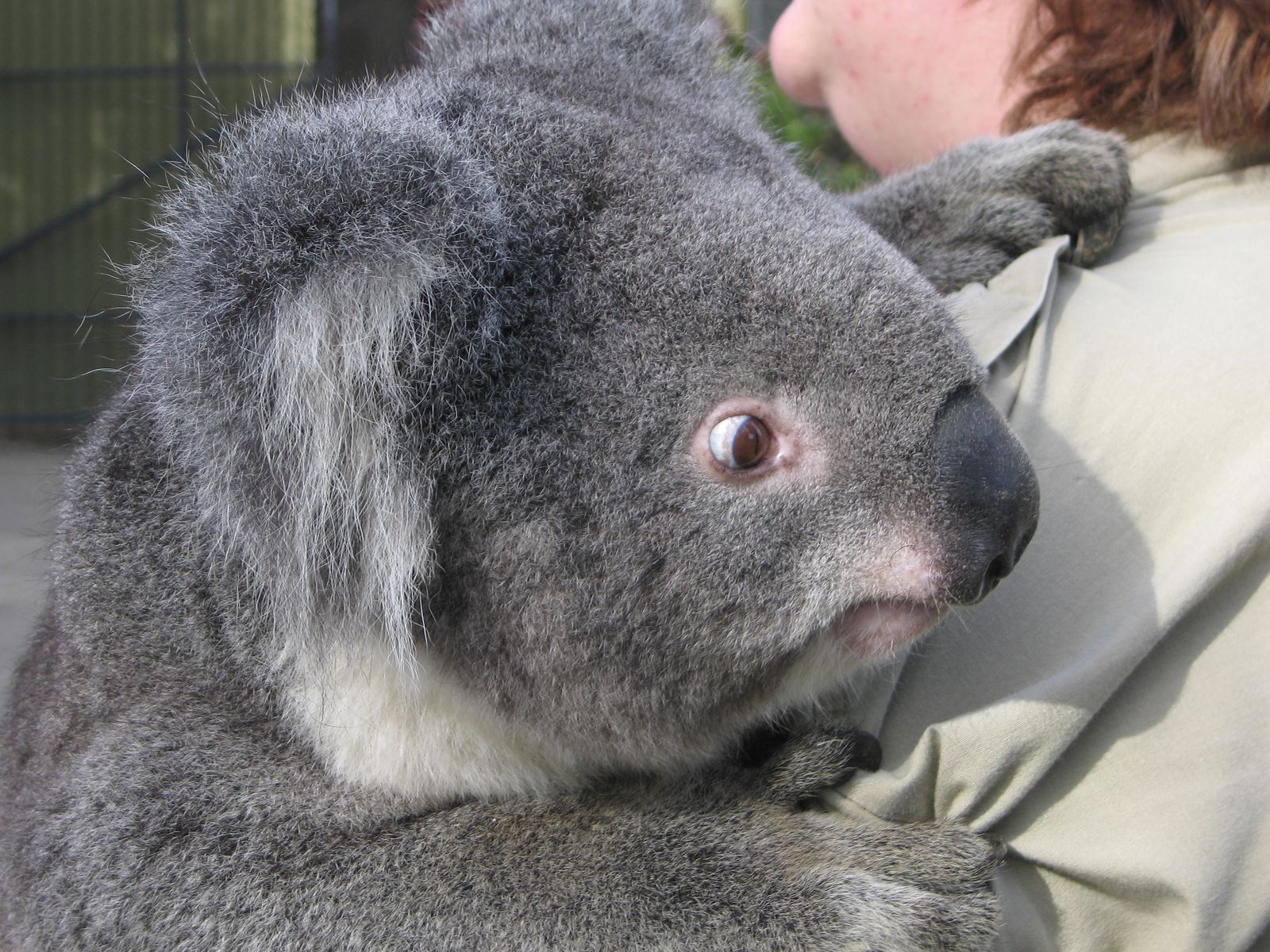 Koala wallpapers fun animals wiki videos pictures stories - Koala components ...