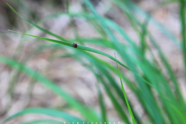 Ixodes ricinus mâle en attente sur son brin d'herbe, Gorges d'Apremont