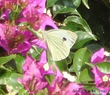 Butterfly on bougainvillea  My Garden Loutraki Greece Photo Greeker than the Greeks