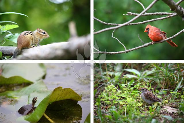 Canada-Quebec-Montreal-jardin-botanique-tamia-cardinal-tortue-bruant