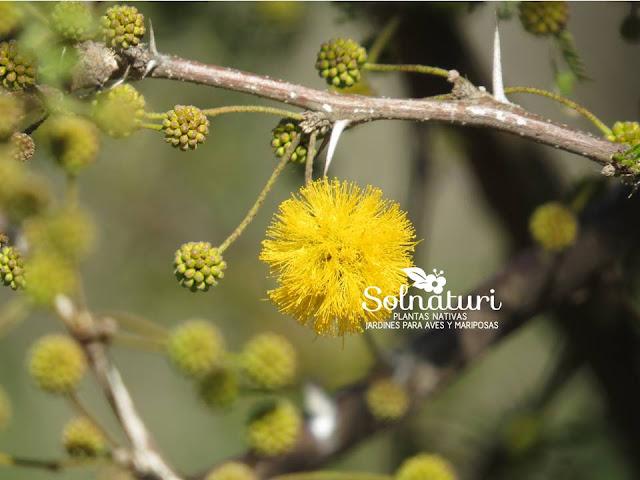 Acacia caven Espinillo Aromito flor