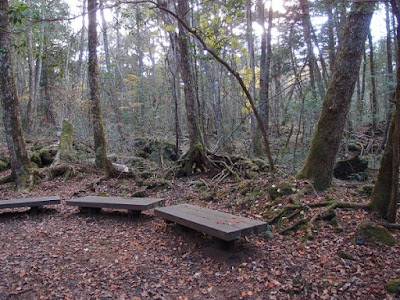 Aokigahara: a Cursed Forest