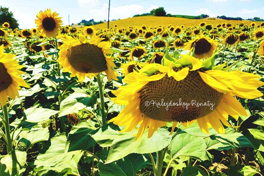 Gdzie zanlaeźć pole słoneczników we Włoszech?