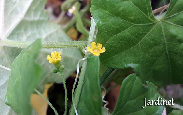 Flores do Pepininho-do-mato ou pepininho selvagem
