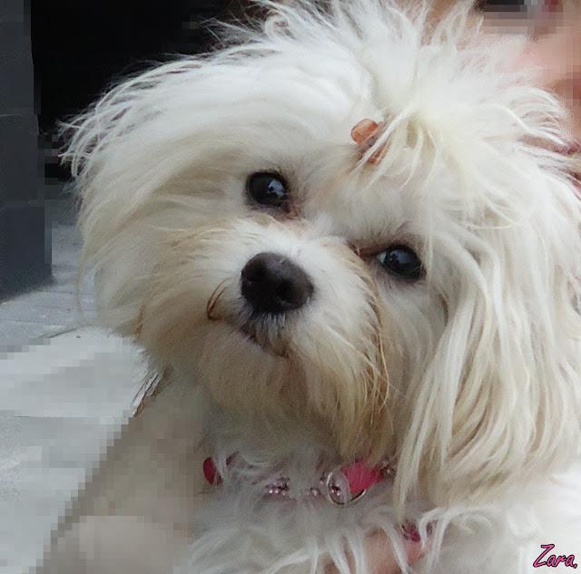 Carita de perro maltes