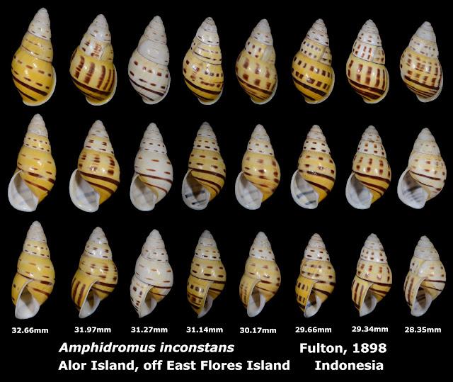 Amphidromus inconstans 28.35 to 32.66mm