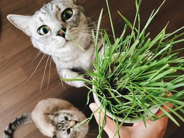 猫草に目を輝かせるサバトラ猫