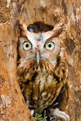 Eastern Screech Owl. Via Adobe Stock.