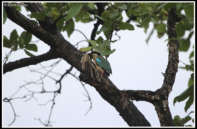 Indian Pitta with nesting material