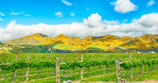 Vineyard in Marlborough, New Zealand