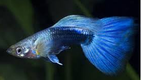 Jenis Ikan Hias Air Tawar  Aquarium Guppy